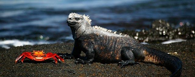 iguana640.jpg