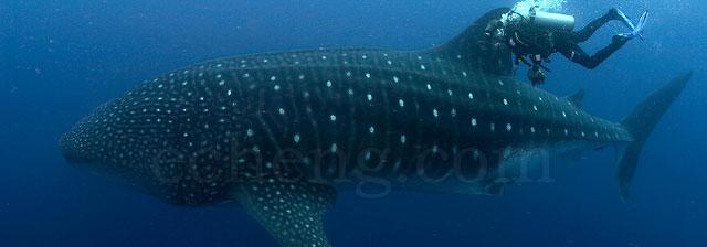A whale shark at Darwin Island