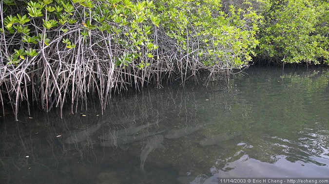 White-tip reef sharks and red mangroves (Black Turtle Cove)