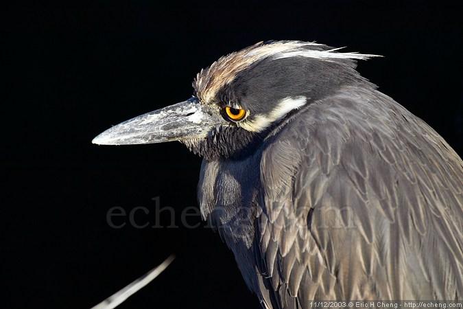 A lava heron (Santiago)