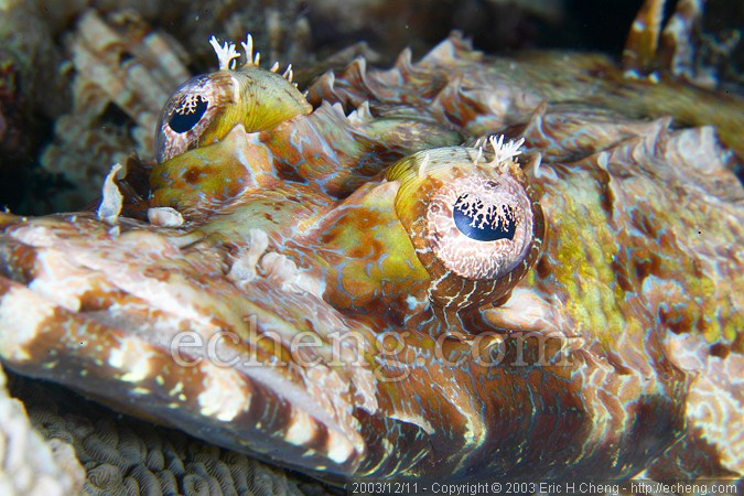 Crocodile fish (Cymbacephalus beauforti)
