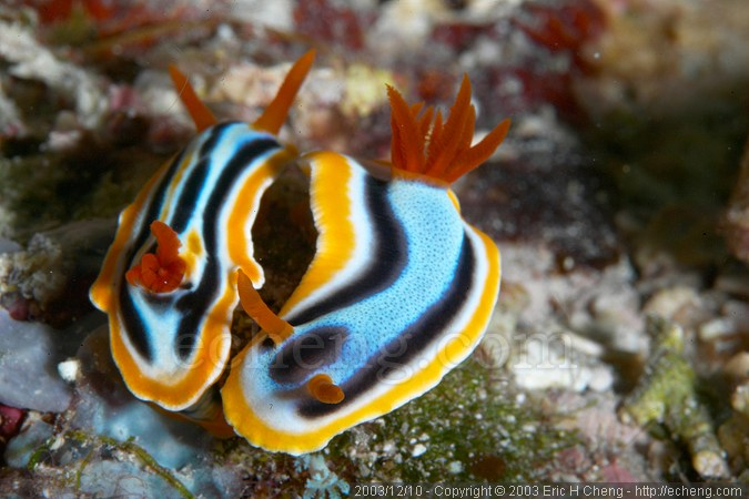 A pair of Chromodoris elizabethina nudibranches, ready to mate