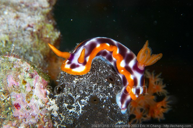 Hypselodoris purpureomasculosa. Extremely rare. No one at the resort had ever seen this species before.