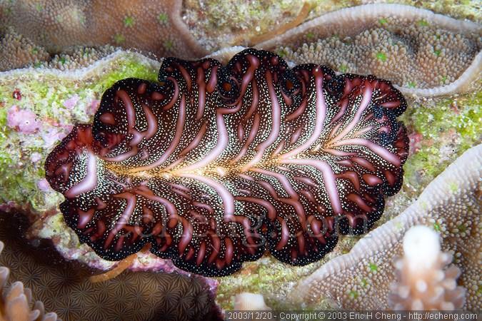 A flatworm (Pseudobiceros bedfordi)