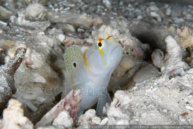Sailfin shrimp goby (Amblyeleotris randalli)