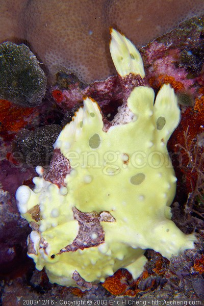 Clown frogfish (Antennarius maculatus)