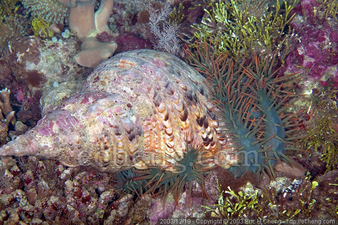 Triton trumpet feeding on a crown of thorns starfish