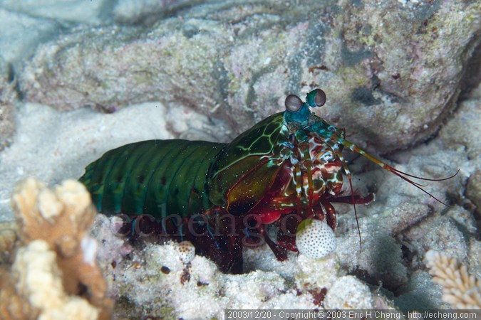 Odontodactylus scyllarus - smashing mantis shrimp