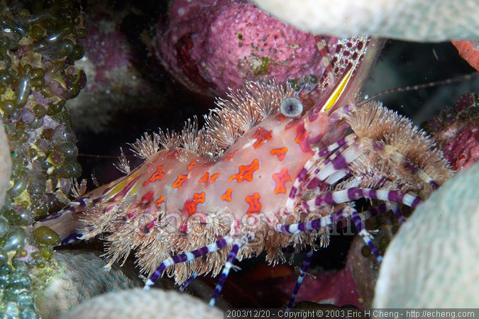 Saron shrimp, hiding in potato coral