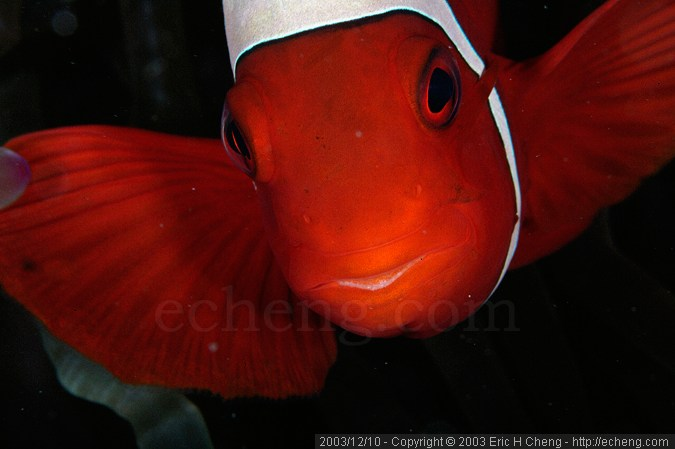Spine-cheek anemonefish (Premnas biaculeatus)