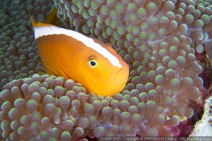 Western skunk anemonefish (Amphiprion akallopisos)