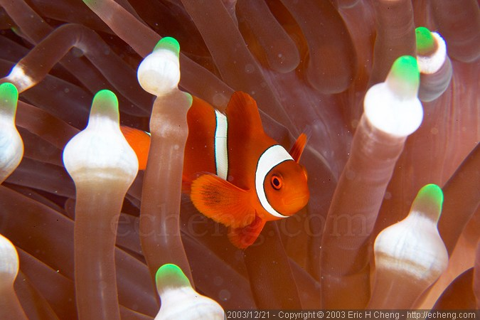 Spine-cheek anemonefish (Premnas biaculeatus), in an E. quadricolor anemone