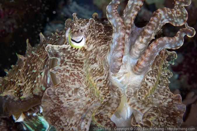 A broadclub cuttlefish (Sepia latimanus)