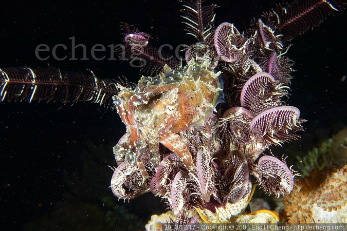 A cuttlefish (Sepia sp.) in a feather star