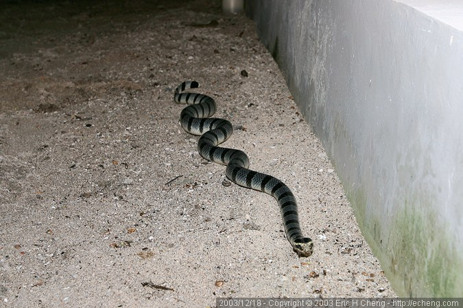 A sea krait wanders onto land
