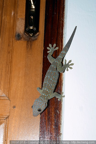 A toque gecko, near the office
