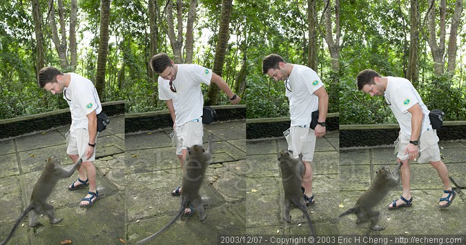 Dave Patchen, being bitten by a long-tailed macaque, at the monkey forest in Ubud