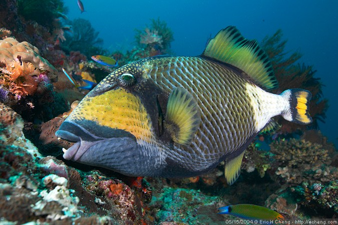 Titan triggerfish, Black Magic, Vatu-i-ra