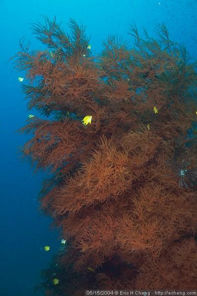 Black coral, Black Magic, Vatu-i-ra