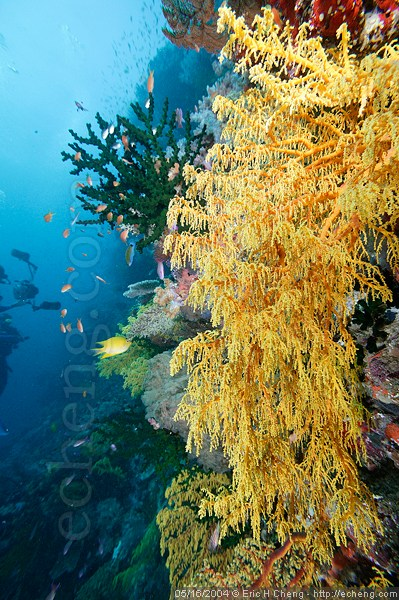 A large gorgonian at G6, Vatu-i-ra