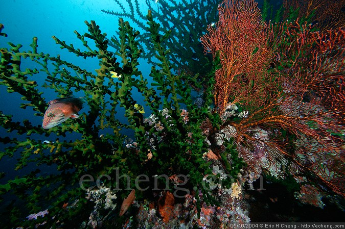 Tubastraea sp., a red gorgonian, and a maori wrasse behind Garden of Eden, Vatu-i-ra