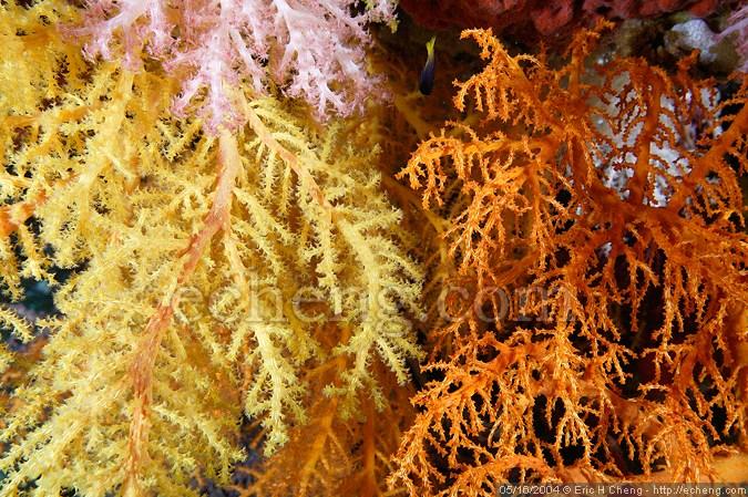 Nice bright coral behind Garden of Eden, Vatu-i-ra