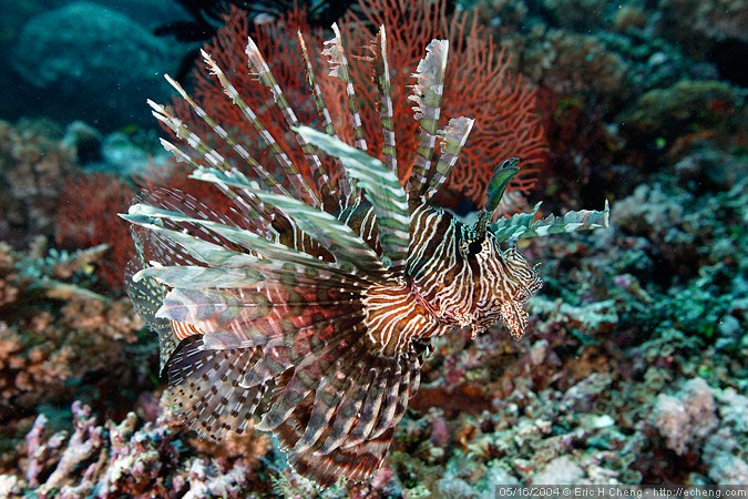 Lionfish behind Garden of Eden, Vatu-i-ra