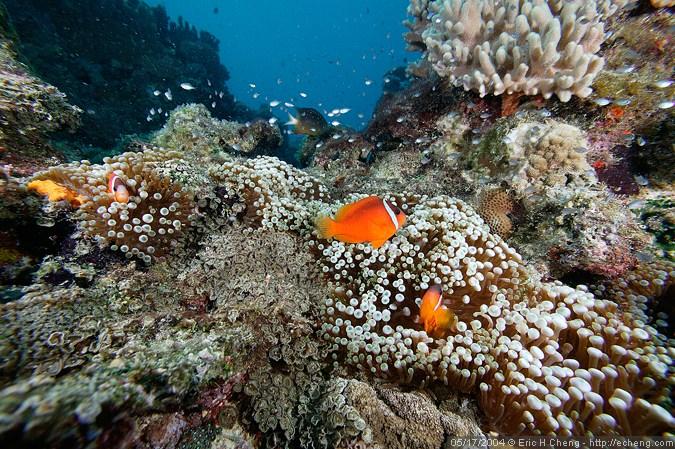 Tomato clownfish and anemones, Golden Dream, Vatu-i-ra
