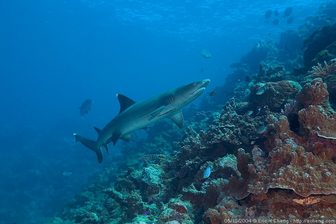 A small white-tip reef shark
