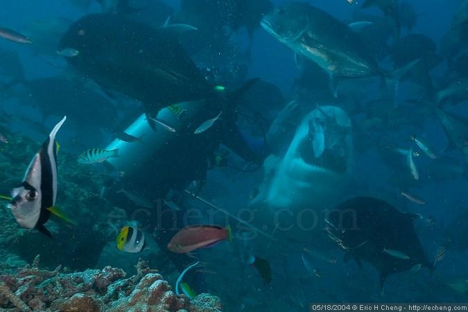 Manasa feeds a bull shark