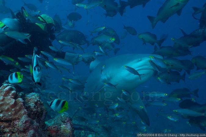 Rusi feeds a bull shark