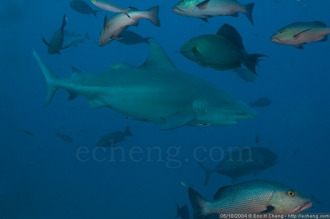 Bull shark, with assorted fish