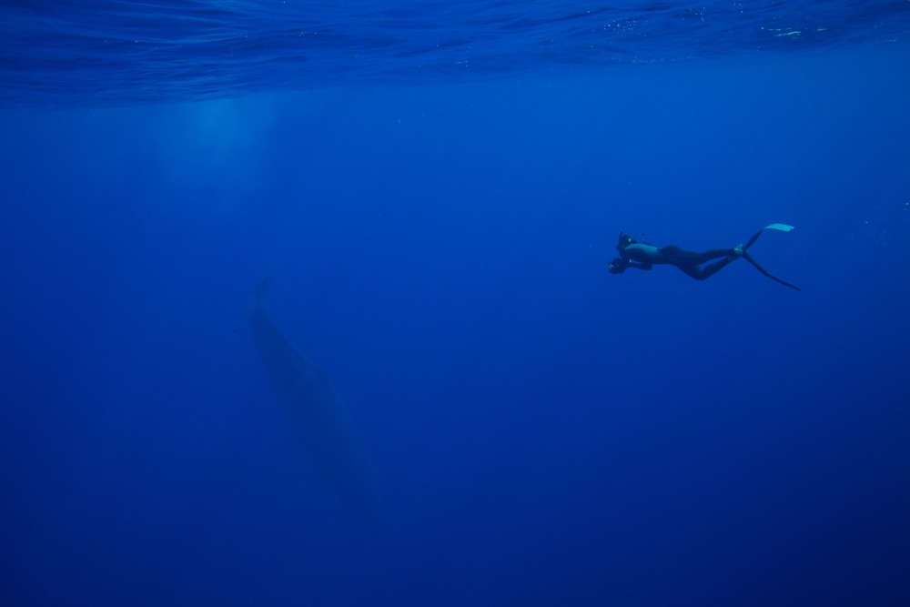 Photographer Tony Wu in the distance, with a diving sperm whale ( Physeter macrocephalus ). Ogasawara Islands, Japan