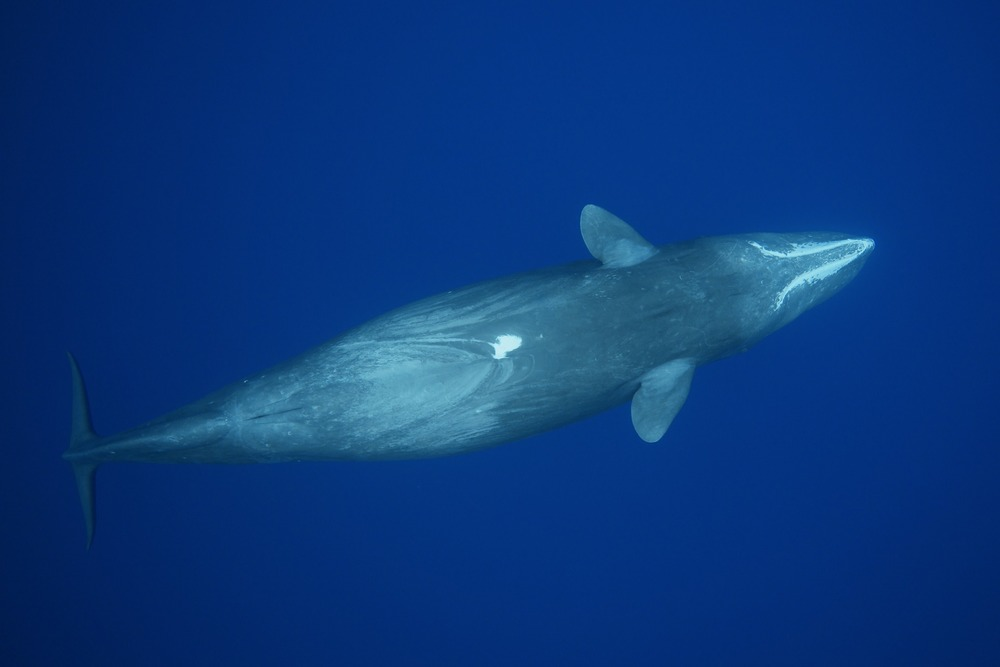 A sperm whale (Physeter macrocephalus) in the Ogasawara Islands, Japan.