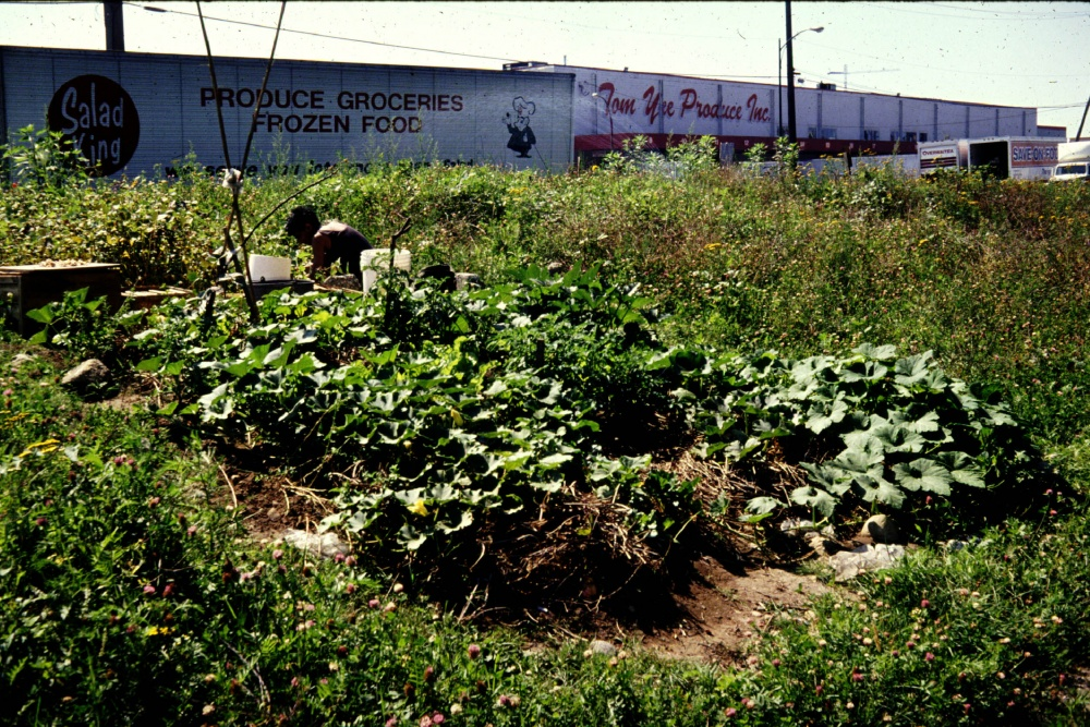 A guerrilla squash patch during Cottonwood's first season, image courtesy of Oliver Kellhammer.