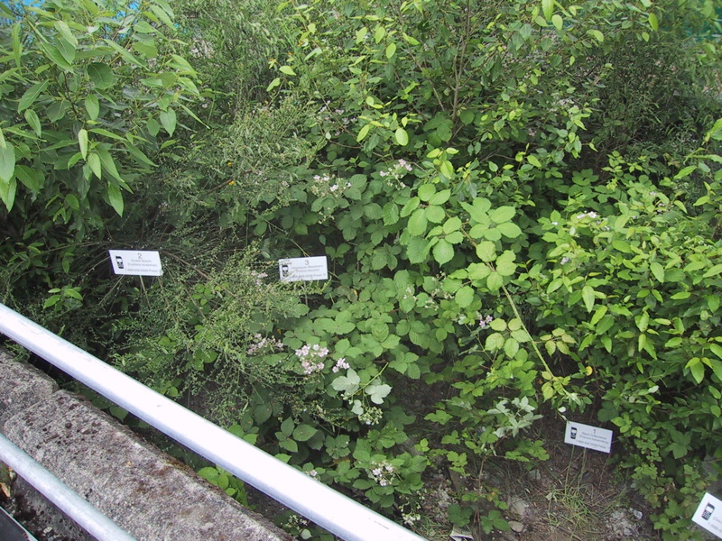 Scotch Broom ( Cytisus scoparius) , Himalayan Blackberry ( Rubus armeniacus)  and Black Cottonwood ( Populus trichocarpa)  at  Concrete Island , image courtesy of Oliver Kellhammer.