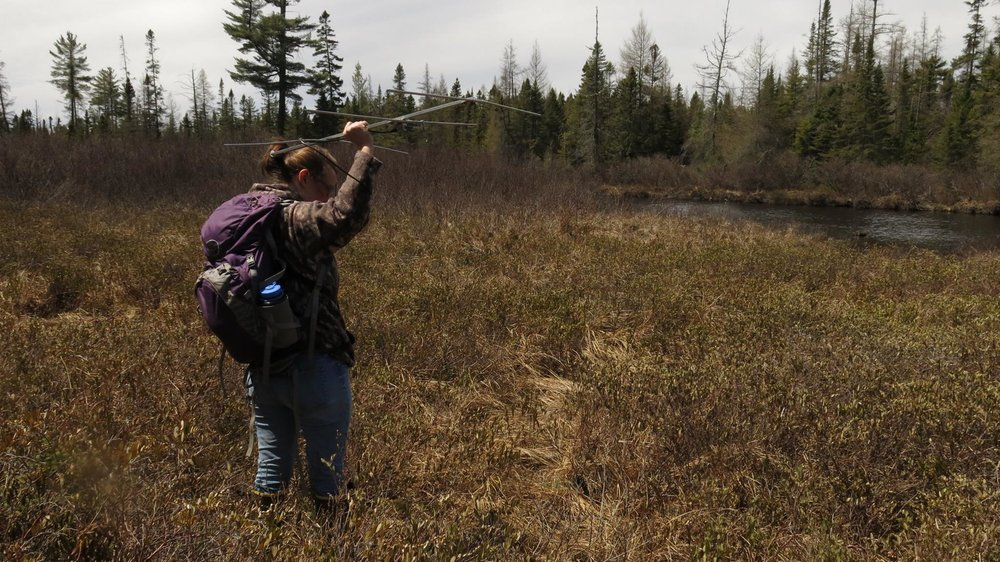 A wildlife technician from the NEw York State Department of environmental Conservation uses radio telemetry equipment in a moose calving survey in 2016.
