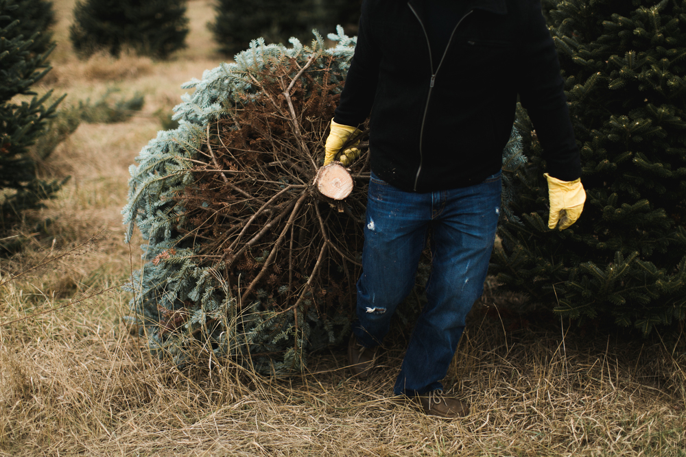 Step 13— Start the long arduous task of dragging your tree to your warm vehicle.