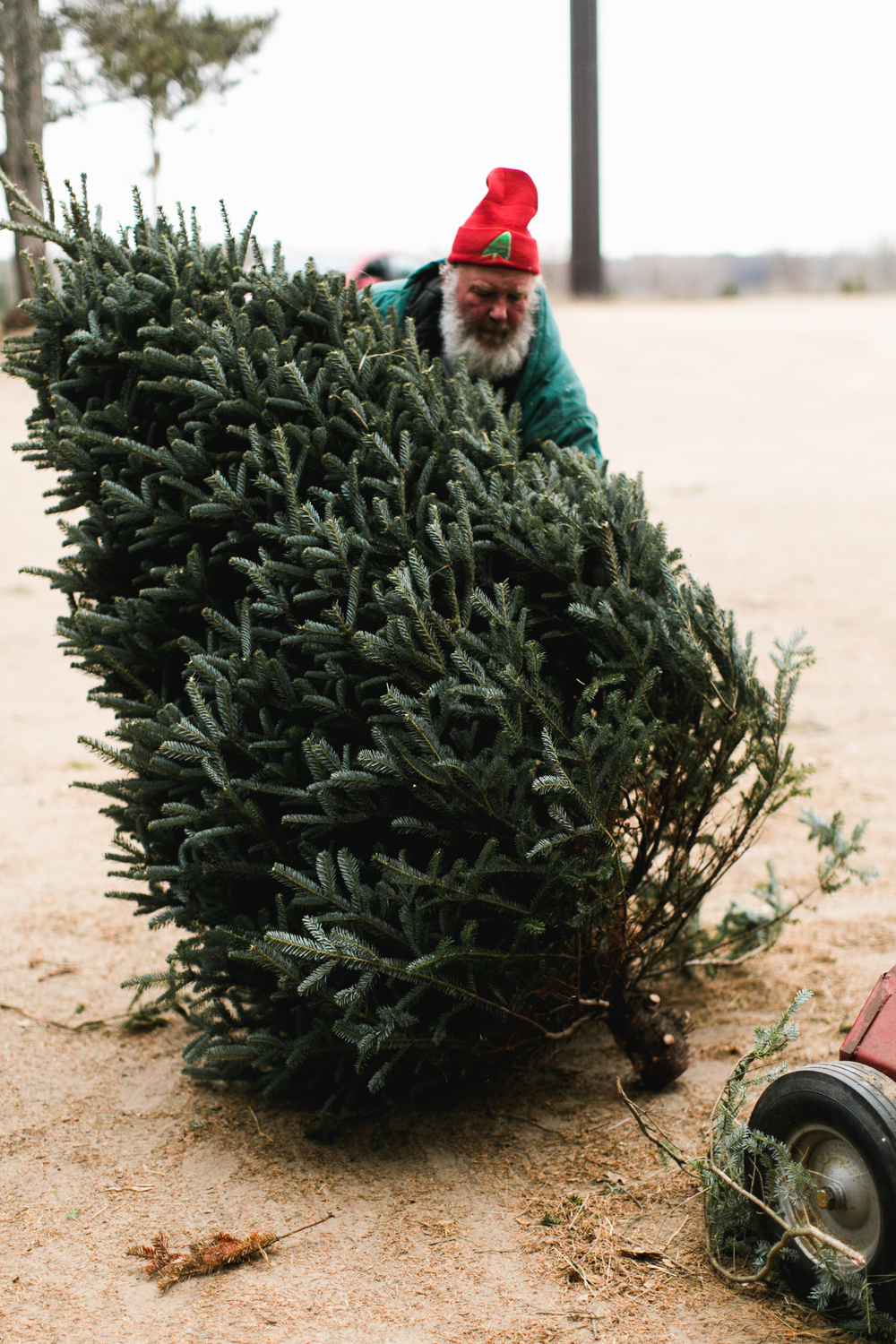 Steps 15-17— Ask an off duty Santa to help you shake and bail your freshly cut tree. This ensures that all of the dust and dead needles are removed from your tree and that it can be transported safely.