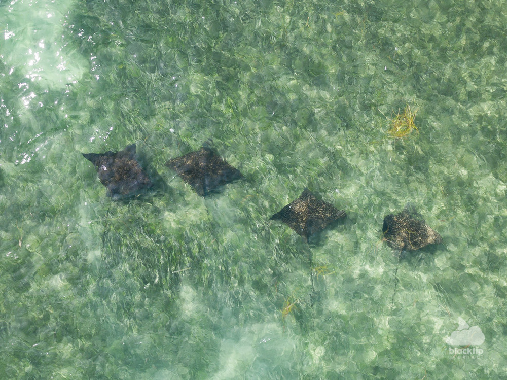 Florida Keys eagle ray aerial drone photo and video