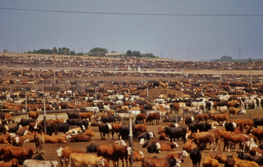 Beef cows on a standard industrial feedlot