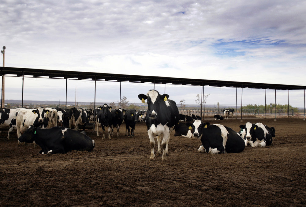 A modern dairy feedlot: Not so idyllic - Photo:  TheFern.org