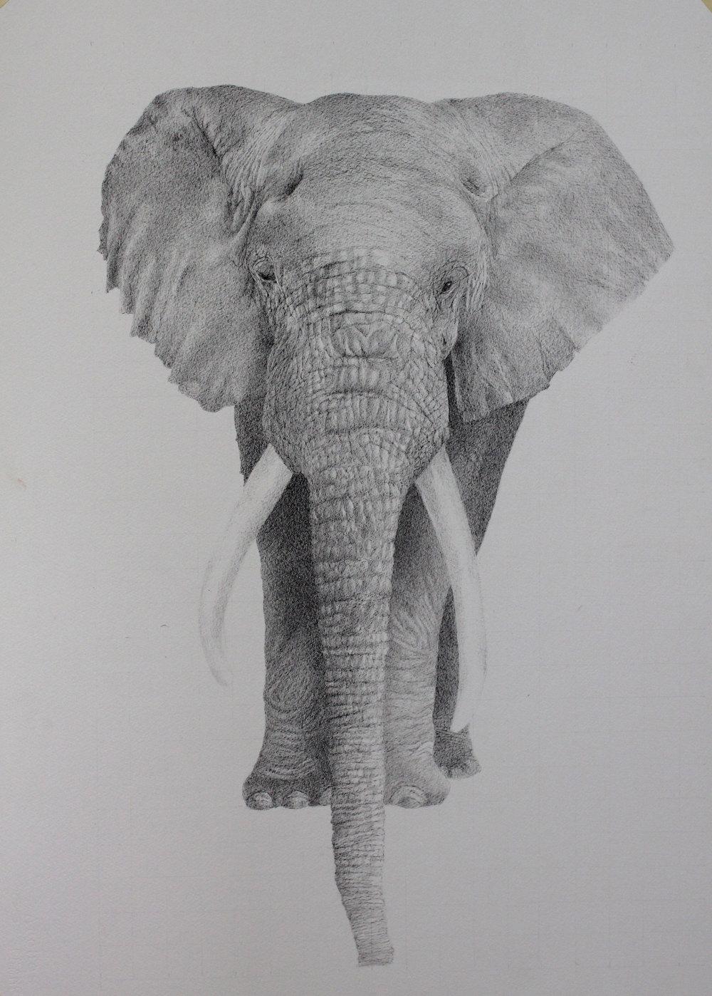 Elephante, pen on paper board, 30x22