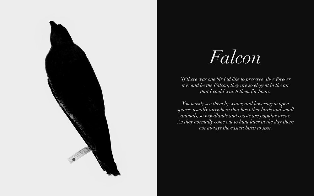 Image: Falcon Twitters, 2009-13 Lambda C-Type Print 32 x 20 inches