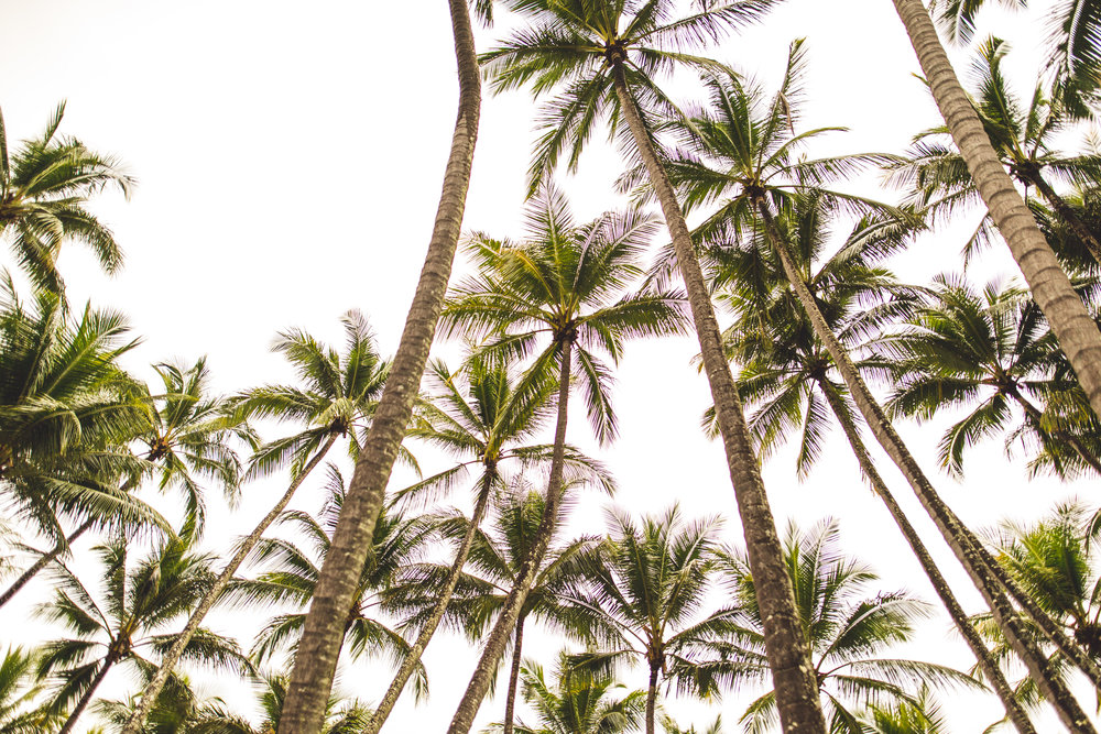 palm trees in palm cove, queensland