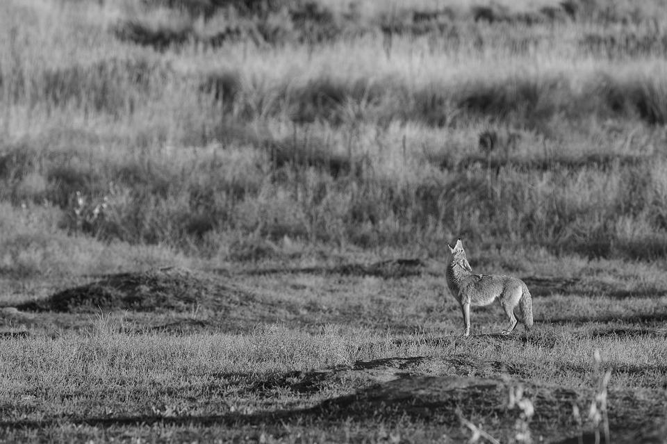 coyote-1169136_960_720.jpg
