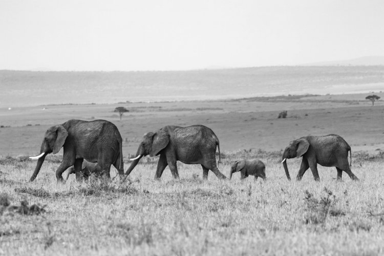 Loving community of elephants making a journey together