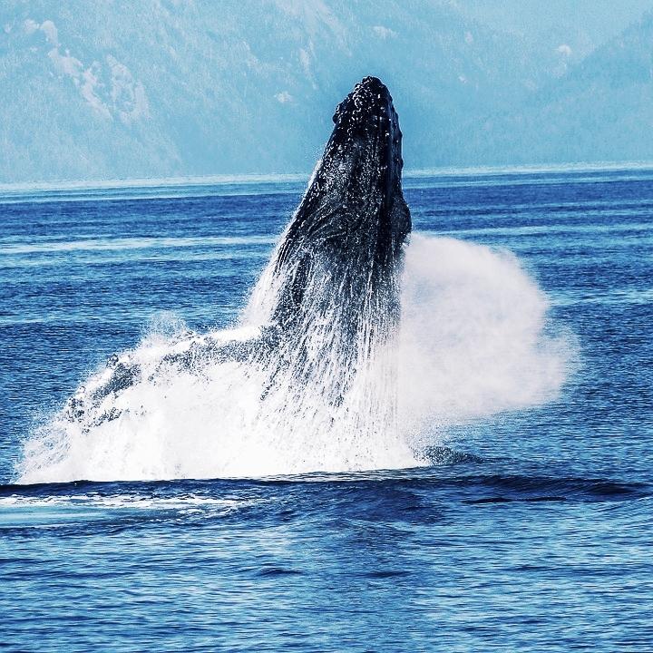 humpback-whale-431904_960_720.jpg