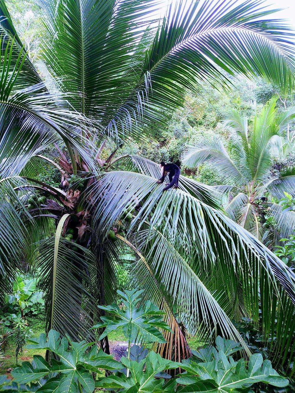 Corcovado National Park palm tree