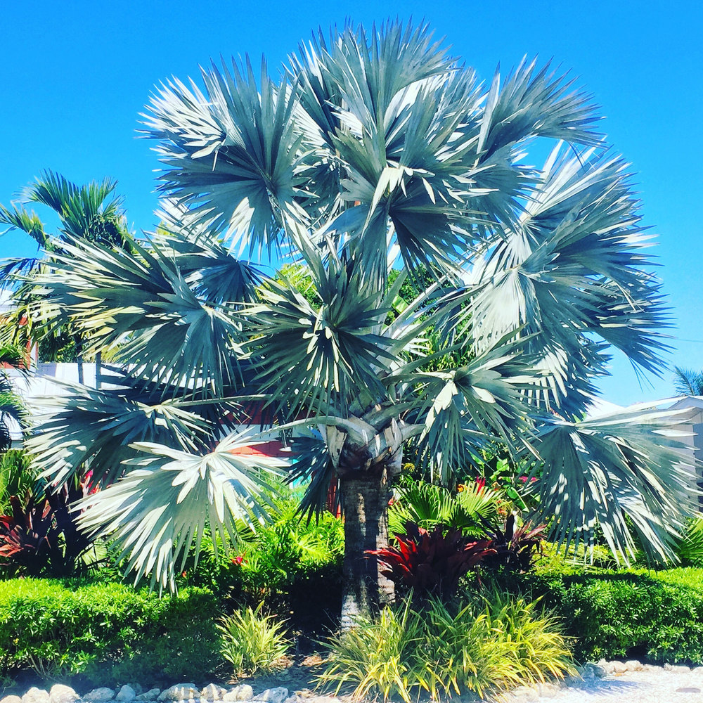 The flora and fauna was beautiful. I loved the sound of the breezes blowing through palm fronds. I thought these bluey-silver palms were so pretty! The tropical version of blue spruce pine trees!